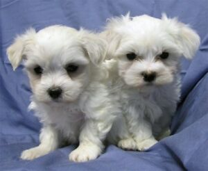 Tiny Maltese puppies