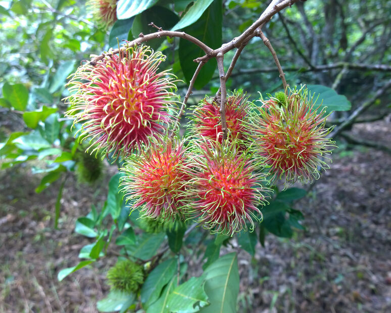 how to plant a rambutan tree  ebay, Natural flower