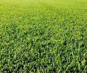 Bufallo grass Maroochydore Maroochydore Area Preview