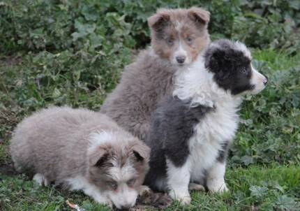 Border Collie puppies Mudgee Mudgee Area Preview