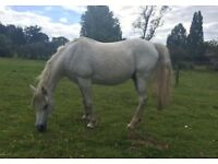 14.3hh Arab Gelding For Loan as Companion/Light Hack