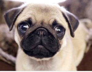Looking for a pug dog or puppy