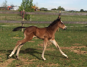 PRICE REDUCED - 2016 Bay Colt for Sale