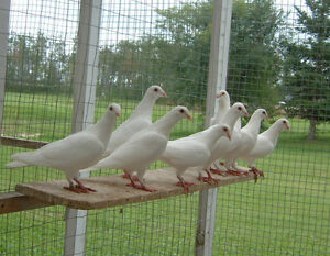 Pigeons, White and Yellow Racing homers for sale