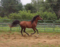 Arabian Stallion at Stud and For Sale