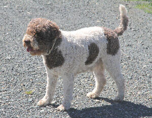 DCKLAGOTTO KENNELS #1 BREEDER of LAGOTTO ROMAGNOLO at Ducketts