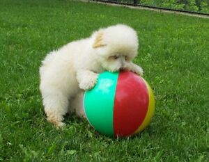 Awesome sweet Havapoo puppy