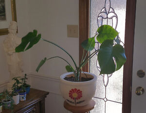 Beautiful swiss cheese plant in 12 inch planter - indoor