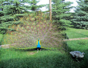 Peacocks and Peahens for Sale