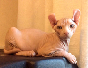 Elf Cat with breeding rights or stud offer available