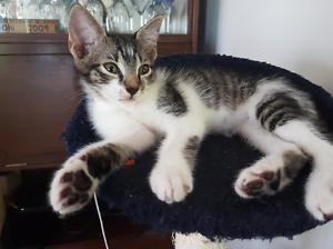 Toby - KITTEN KAPERS RESCUE Holland Park Brisbane South West Preview