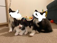 Kittens for sale 2x male