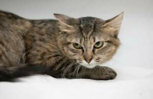 1490 : Rose - CAT for ADOPTION - Vet Work Included