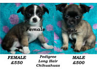 Ready Now 2 PEDIGREE LONG HAIR CHIHUAHUA PUPPIES FOR SALE