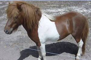 Miniature horse/pony STALLION paint/appy cross 5 y 10H V quiet Cooroy Noosa Area Preview