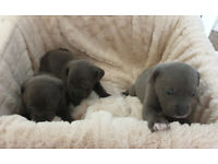 Very rare silver, charcoal, brindle and black labrador cross puppies