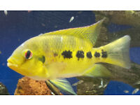 South American Cychlids fish ( Spectabilis ) - large fry 5 for £2 - KETTERING