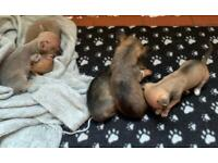 Chihuaua puppies for sale