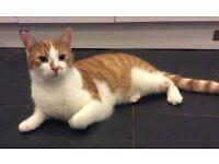 Ginger and White Kitten