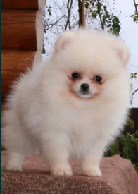Beautiful pomeranian girl