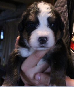 Bernese Mountain Dog Puppies from pure bred stock