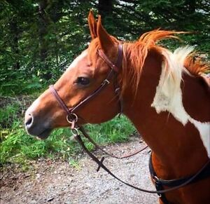 11 year Arab/paint gelding for competitive trail