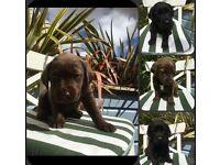Labrador X Chesapeake Bay Retriver Puppies