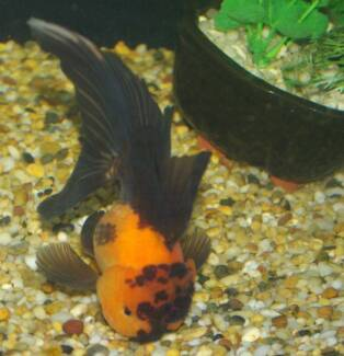 goldfish online from $7.99 South Windsor Hawkesbury Area Preview