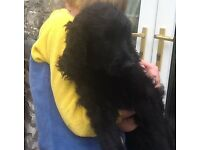Gorgeous black curly Goldendoodles