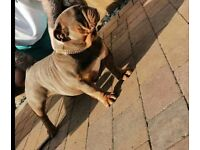 Rehome!! SPAYED Female British Bulldog *PLEASE READ*