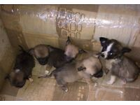 Five boys 8week old full bred chowawer puppys