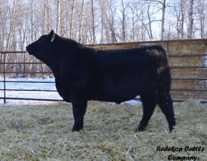 Yearling Angus Bulls for Sale by Private Treaty