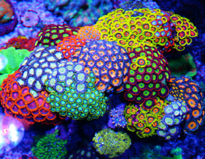 Wanted Coral Frags