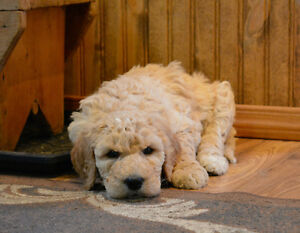 F1B Bernedoodle puppies just in time for Xmas Belleville Belleville Area image 3