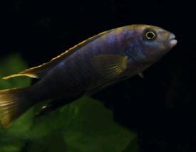 Fish-African Malawi Cichlids