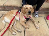Labrador/golden retriever for sale!!!!