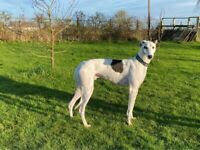 Greyhounds looking for loving homes in Nottinghamshire, Lincolnshire and surrounding areas