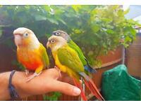 super tame unique hand reared baby conure parrots bird