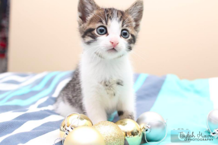 Levi rescue KITTEN to adopt VET WORK INCLUDED