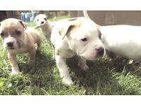AMERICAN BULLDOG x BULL TERRIER PUPPIES