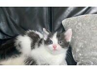 Beautiful black and white female kitten