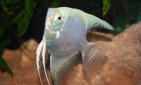 white platinum angelfish for sale!!