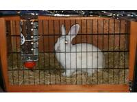 Male Rabbit Looking For A Good Home