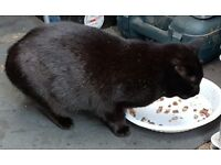 Found black female cat evington area