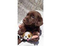 Chocolate labrador Puppie