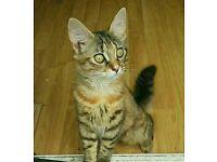 Gorgeous part bengal kitten