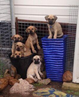 Bullmastiff x Ridgeback Puppies