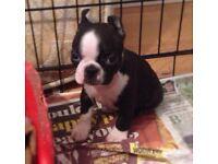 Stunning boston terrier pups girls & boys