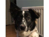 Collie x Lila is looking for her forever home