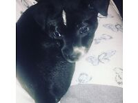 Tyson 4 months old staff crooked with jack russle needs a good home